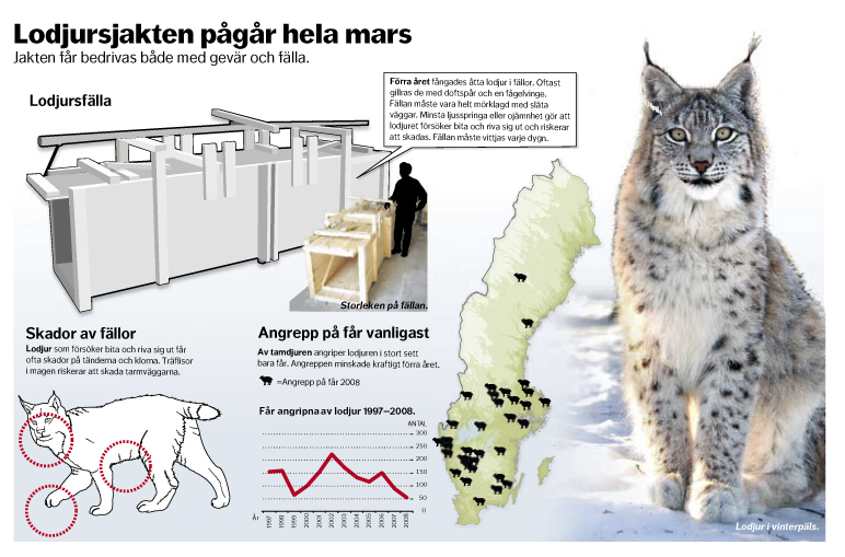 Informationsgrafik om Lodjur och lodjursjakt